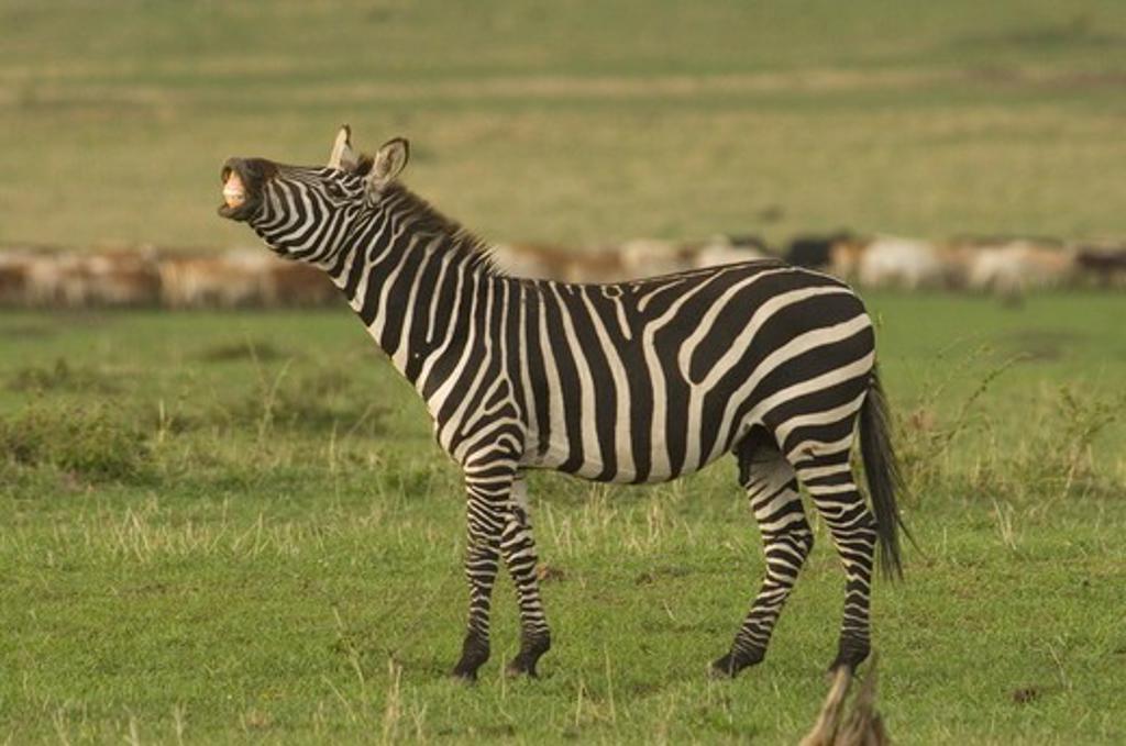 Burchell's Zebra stallion with flehmen behavior (urine testin) Masai Mara Natl Reserve, Kenya : Stock Photo