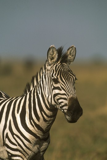 Stock Photo: 4179-37113 Common Zebra (Equus burchelli) Mara, Kenya