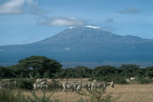 Grants Zebra and Mount Kilimanjaro, Amboseli, Kenya (Equus b. boehmi) : Stock Photo