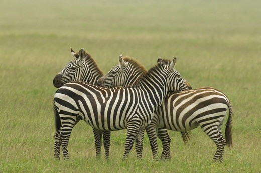 Stock Photo: 4179-37150 Burchell's Zebras standing in plains with one's head on other's back, Serengeti National Park, Tanzania