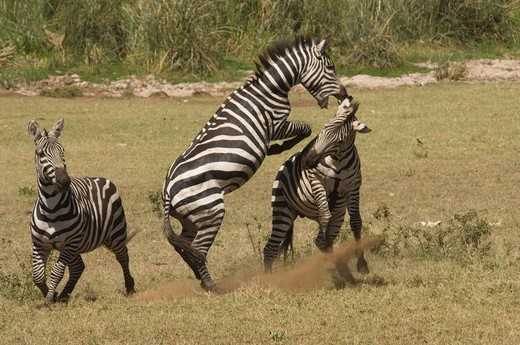 Burchell's Zebra stallions fighting, Masai Mara Natl Reserve, Kenya : Stock Photo