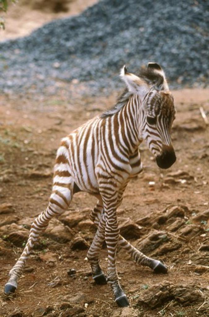 Stock Photo: 4179-37175 Burchell's Zebra,  baby get- (Equus burchelli) ing legs Nairobi NP, Kenya
