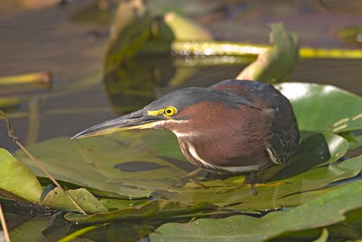 Stock Photo: 4179-3718 Green Heron (Butorides virescens) Everglades Nat.Park 2006