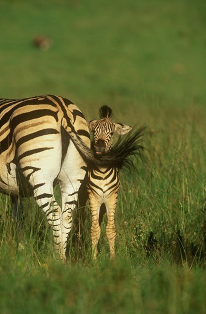 Burchell's Zebra (Equus burchelli) with foal, KwaZulu-Natal Midlands, S. Africa : Stock Photo