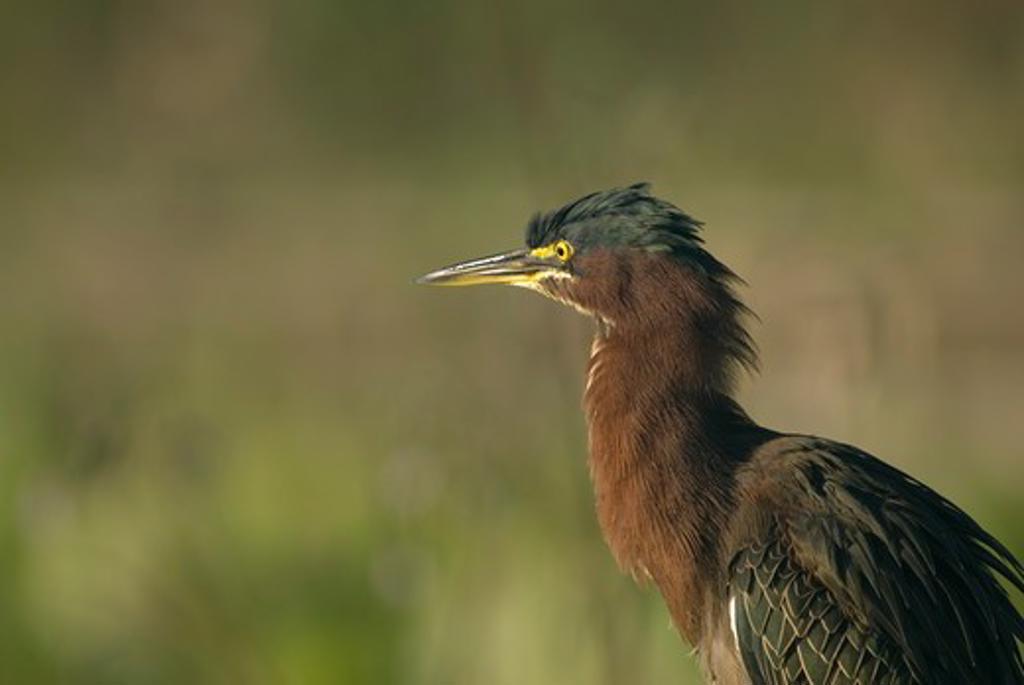 Green Heron (Butorides striatus)  Wakodahatchee Wetlands   FL   2006   Digital capture : Stock Photo