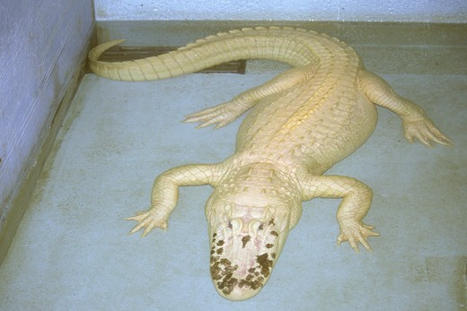 Stock Photo: 4179-37329 Leucistic Am.  Alligator now part of Audubon Zoo, Galliano, Louisiana