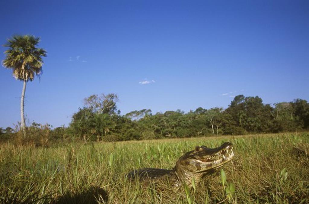 Stock Photo: 4179-37411 Jacare Caiman aka Paraguayan (C. c. yacare), Pantanal, Brazil