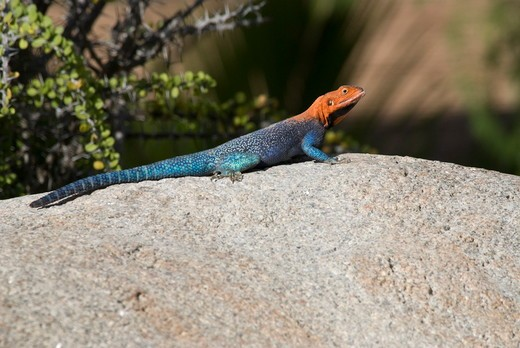 Stock Photo: 4179-37591 Red-headed Rock Agama, Agama agama, San Diego Zoo, California, USA, November 2008