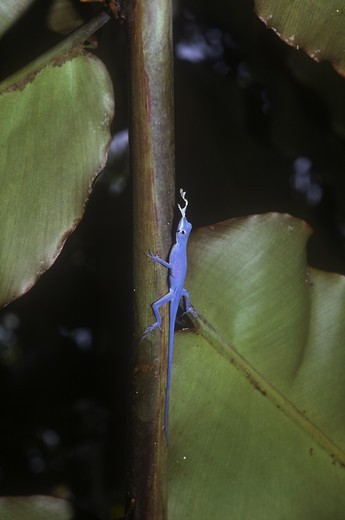 Anoline Lizard, Blue Anole (Anolis gorgonae), Isla Gorgona : Stock Photo