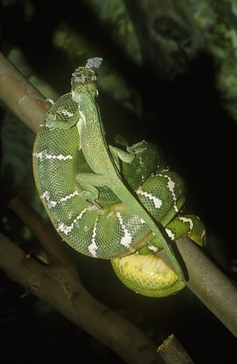Knight Anole crawling on Emerald Tree Boa, San Diego Zoo : Stock Photo