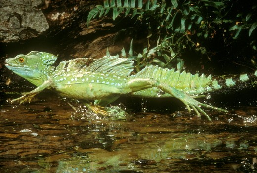 Stock Photo: 4179-37664 Plumed Basilisk Running on Water - Costa Rica CA (Basiliscus plumifrons)