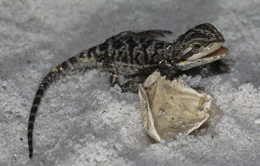 Stock Photo: 4179-37881 Bearded Dragon (Pogona vitticeps), Australia, newly hatched Young