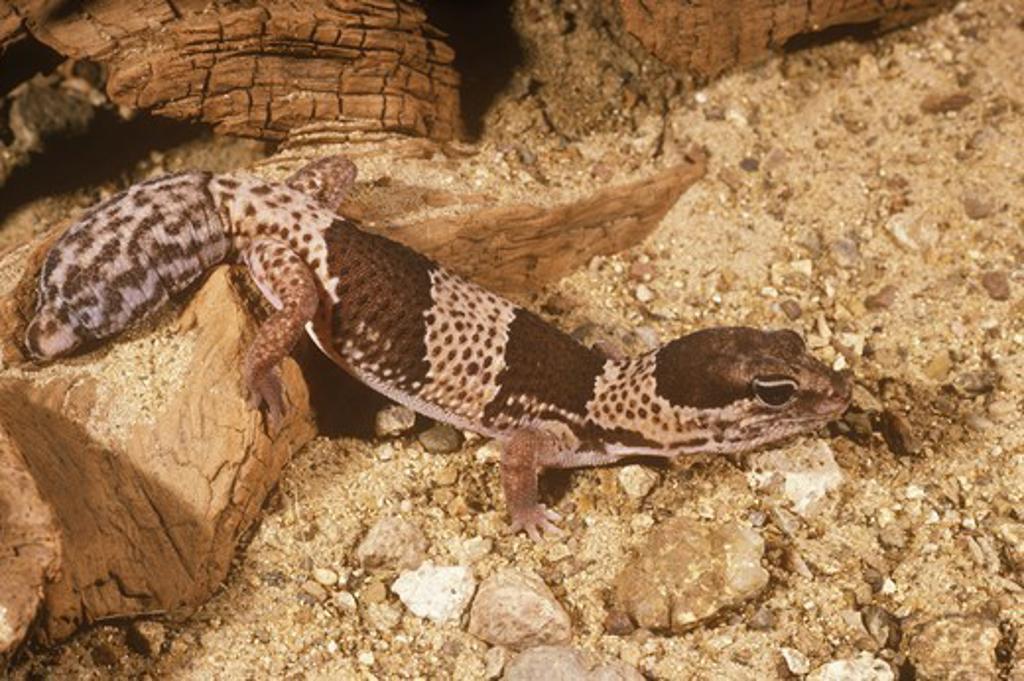African Fat-Tailed Gecko (Hemitheconyx caudicinctus) *Tail Mimics Head : Stock Photo