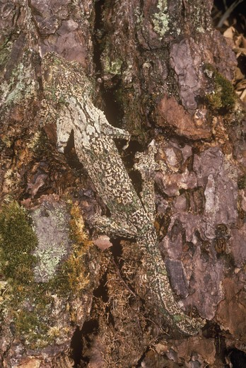 Mossy Flat-tailed Gecko, Madagascar (Uroplatus sikorae), camouflaged : Stock Photo