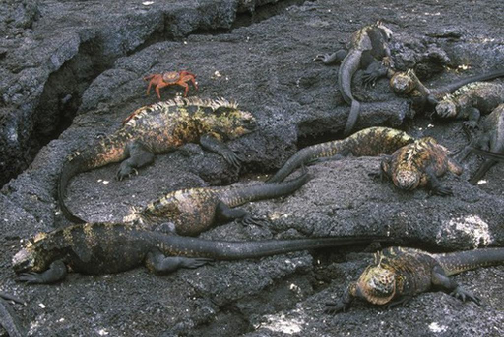 Stock Photo: 4179-38234 Marine Iguanas on Lava Rock, Galapagos