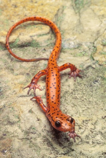 Stock Photo: 4179-38488 Cave Salamander, Eurycea lucifuga, Tennessee, Anderson Co.