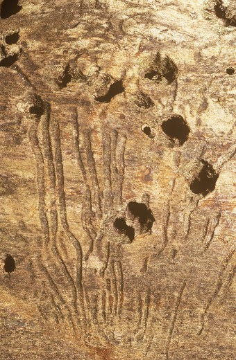 Stock Photo: 4179-3858 Elm Bark Beetle (Scolytus scolytus) Galleries & Spotted Woodpecker Holes  (Dendrocopos major)
