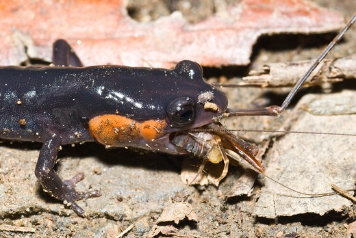 Red-cheeked Salamander (Plethodon jordani), eating camel cricket,  Chimney Tops Trail, Great Smoky Mountains National Park, TN : Stock Photo