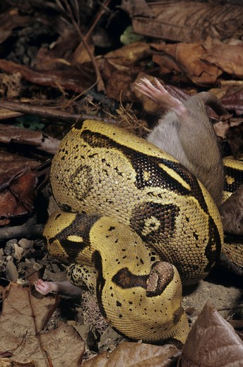 Stock Photo: 4179-38922 Boa Constrictor (Constrictor constricto) constricting Rat, N. South America
