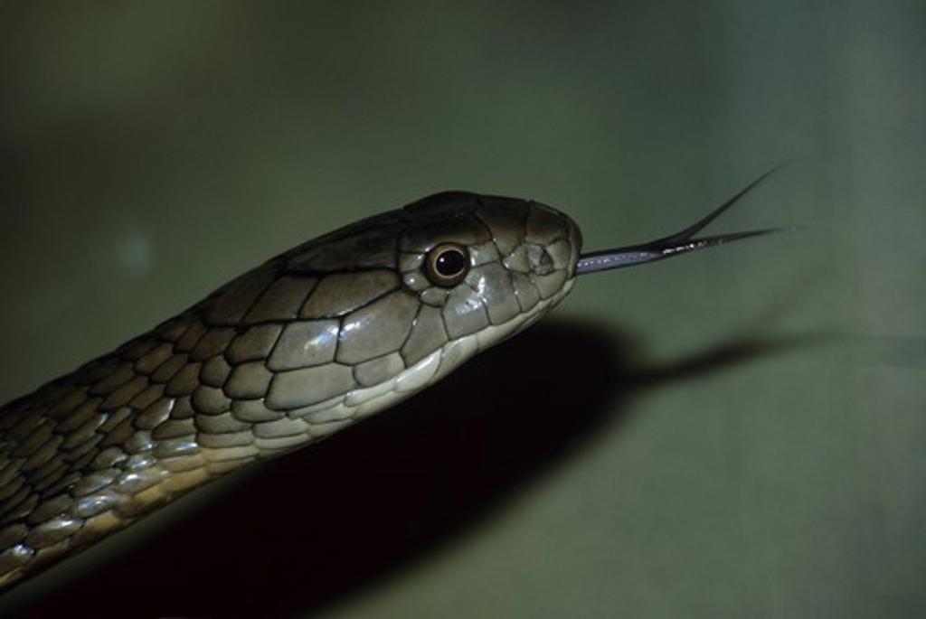 Stock Photo: 4179-38959 King Cobra (Ophiophagus hannah) San Diego, CA