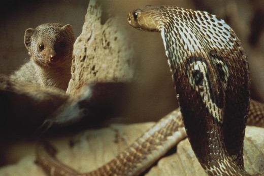 Stock Photo: 4179-38973 Cobra And Mongoose, India