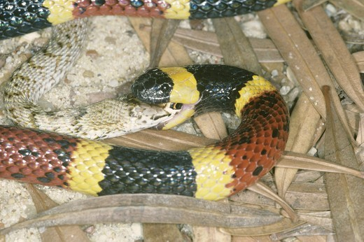 Texas Coral Snake eating (Micrurus fulvius tener) a  juvenile western Coachwhip : Stock Photo