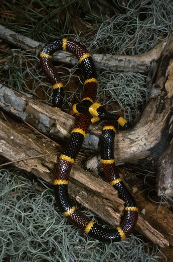 Stock Photo: 4179-39050 Eastern Coral Snake (Micrurus fulvius)