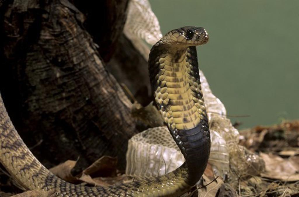 Stock Photo: 4179-39091 Egyptian Banded Cobra (Naja haje annulifera) shedding skin
