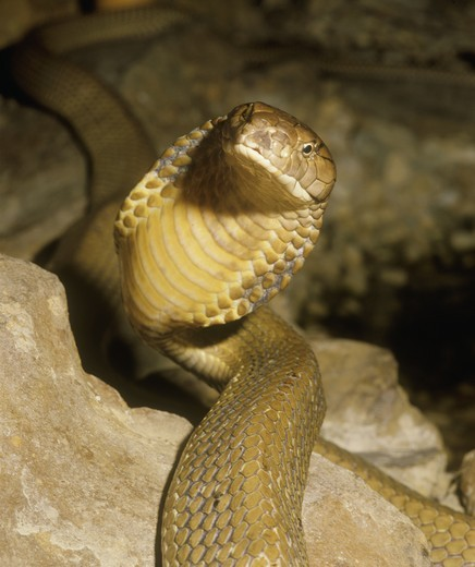 Stock Photo: 4179-39101 King Cobra (Ophiophagus hannah)