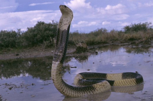 Stock Photo: 4179-39120 Egyptian Banded Cobra  (Naja haje annulifera)  Northern Namibia, Venomous