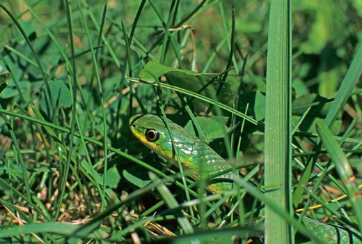 Stock Photo: 4179-39161 Smooth Green Snake