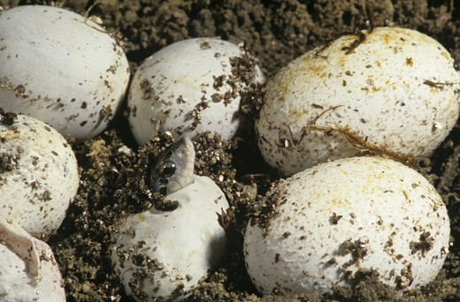 Stock Photo: 4179-39272 Eastern Hognose Snake (Heterodon platyrhinos) Eggs hatching, PA