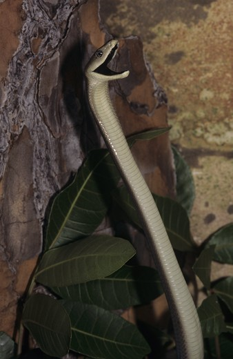 Stock Photo: 4179-39347 Black Mamba (Dendroaspis polylepis), Threat Display, South Africa