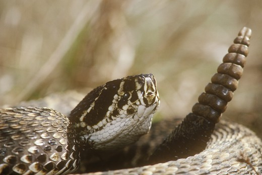 Stock Photo: 4179-39862 Eastern Diamondback Rattlesnake (Cotalus adamanteus) Big Cypress NP/Florida