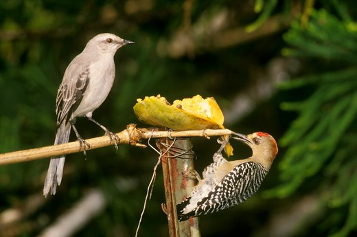 Stock Photo: 4179-3991 Tropical Mockingbird & Red-crowned Woodpecker (Minus gilvus) Tobago, W.I.