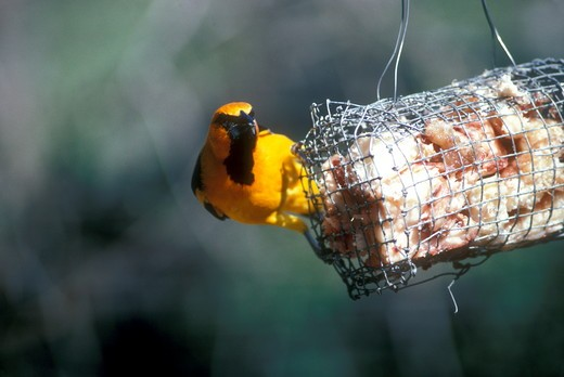 Stock Photo: 4179-3993 Lichtenstein's Oriole at Feeder