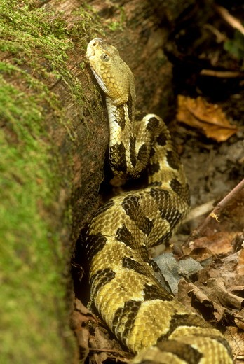 Timber Rattlesnake (Crotalus horridus) Eastern USA : Stock Photo