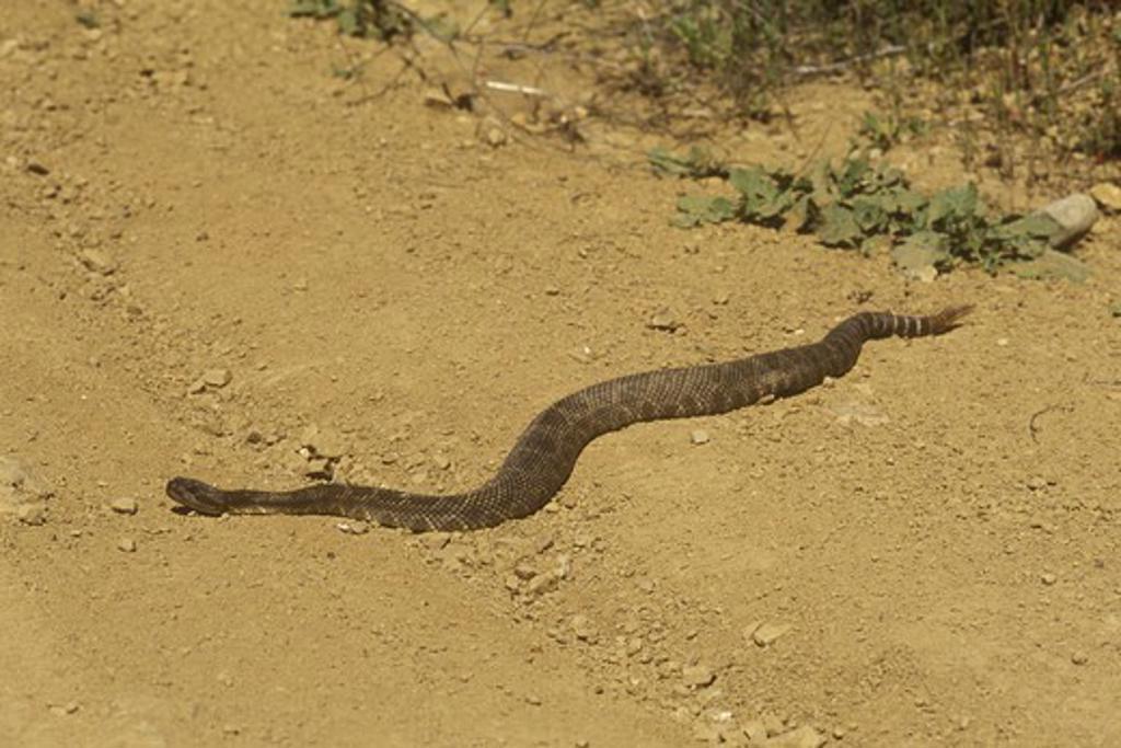 Stock Photo: 4179-40037 Western Rattlesnake (Crotalus viridis) Los Padres NF, California
