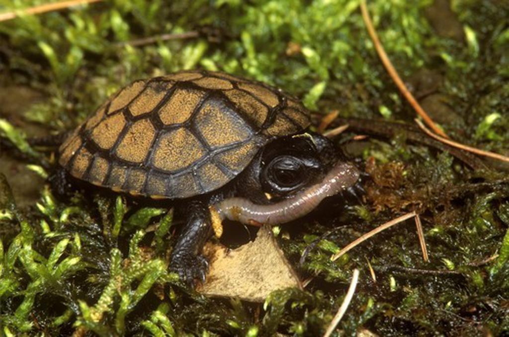 Bog Turtle Eating Worm  (Clemmys muhlenbergi) *Endangered/Pennsylvania : Stock Photo