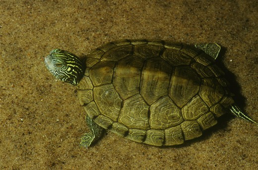 Common Map Turtle (Graptemys geographica) : Stock Photo