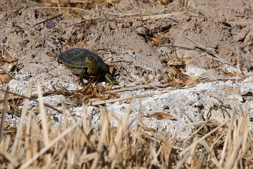 Stock Photo: 4179-40424 Western Painted Turtle (Chrysemys picta belli) Bosque del Apache NWR, New Mexico, USA, December 2008