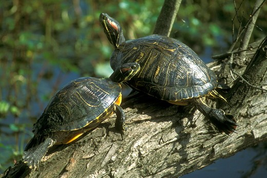 Stock Photo: 4179-40607 Red Eared Slider Pair (Chrystemys picta) Brazos Bend State Park - TX, Texas