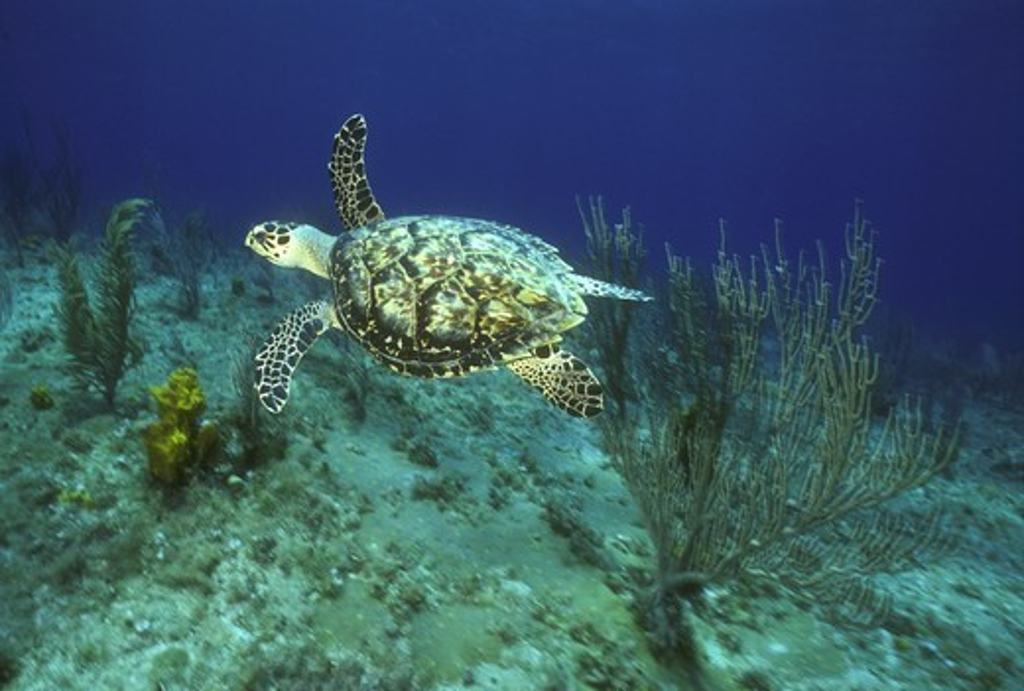 Hawksbill Turtle (a Sea Turtle), Cayman Islands : Stock Photo