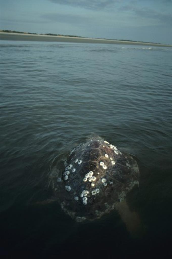 Stock Photo: 4179-40819 Loggerhead Sea Turtle (C. caretta) with barnacles, Cumberland Isl., GA,Georgia