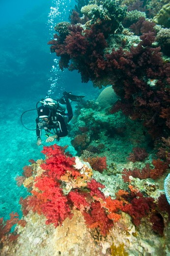 Stock Photo: 4179-40984 NR Scuba Diver inspecting beautiful Soft Coral, Beqa Lagoon, Fiji