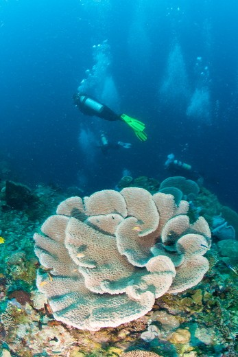 Stock Photo: 4179-41003 NR Scuba Divers on healthy Reef with large Coral System, Milne Bay Area near Normanby Island, Papua New Guinea
