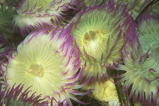 Aggregating Anemone (Anthopleura elegantissima) Range: Alaska - Baja, CA : Stock Photo