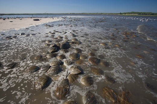 Horseshoe Crabs exposed by tide (Limulus polyphemus) spawning on beach;  NJ, Delaware Bay : Stock Photo