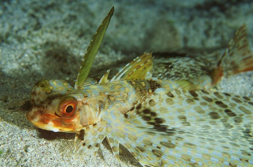 Stock Photo: 4179-42069 Flying Gurnard (Dactyloptena orientalis), Indonesia