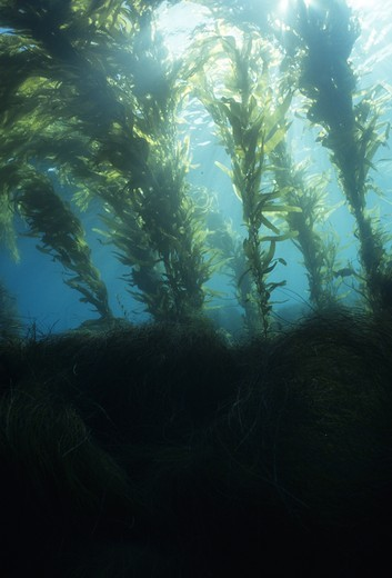 Stock Photo: 4179-42253 Different types of Kelp & Seaweed make a rich home for marine life, California